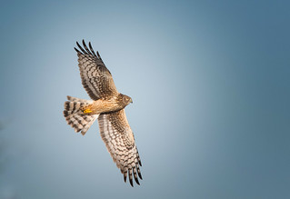 Northen Harrier: Circus cyaneus - adult F