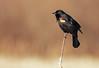 RWBB foot BG-1 (ayres_leigh) Tags: nature whitby canon 400mm wildlife