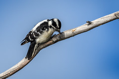 Downy Woodpecker Female (halladaybill) Tags: bolsachica downywoodpecker huntingtonbeach california unitedstates us