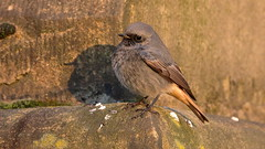 Black Redstart (Karl Bishop) Tags: