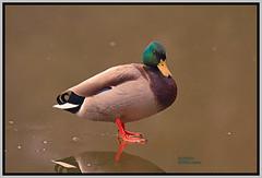 ducks 006 (Diddley Bo) Tags:
