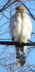 Immature Cooper's Hawk_N1461_01 (Henryr10) Tags: hamiltonoh accipitercooperii accipiter coopershawk hawk raptor avian bird vogel ibon oiseau pasare fågel uccello tékklistar coha