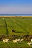 IMG_4903-1 (Andre56154) Tags: deutschland germany easternfriesland ostfriesland küste coast meer ozean ocean nordsee northsea himmel sky landscape schaf sheep kuh cow cattle willow weide wiese