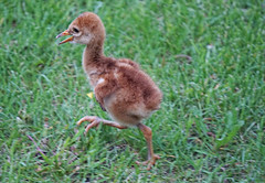 Looking for mama (katerha) Tags: sandhill sandhillcrane hatchling