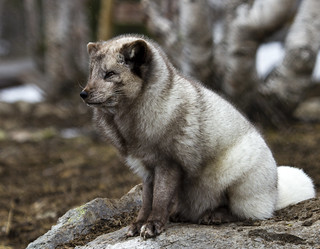 A Arctic fox in his new summer fur