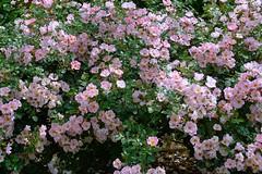 Bingo Meidiland (love_child_kyoto) Tags: flowers roses summer kyoto    peacetoall    may302015