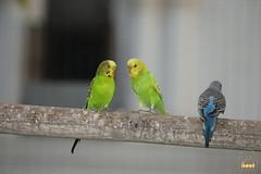 39. Budgerigar / Попугай Волнистый