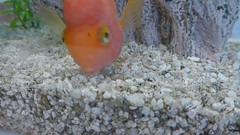 Gulping and feeding, 3 sec video   --   L1080504 (mshnaya) Tags: leica fish water swimming swim gold aquarium photo video flickr foto goldfish photograph feed aquatic gulp leicac