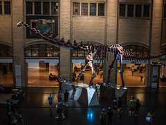 More Than a Footlong Futalognkosaurus (Jay:Dee) Tags: from toronto ontario museum giant skeleton fossil ultimate chief royal lizard giants rom dinosaurs sauropod gondwana futalognkosaurus