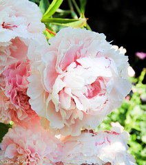 Pretty in Pink (AnnMelanie) Tags: pink flowers white colour sunshine garden cream magenta peony colourful shrubs dasies hebe