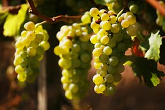 "Sauvignon Blanc Grapes • <a style=""font-size:0.8em;"" href=""http://www.flickr.com/photos/133405556@N08/19457993993/"" target=""_blank"">View on Flickr</a>"