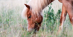 (dunkelbunt304) Tags: light sunset horse nature pony sonne pferd lightroom icelandichorse islnder islandpony