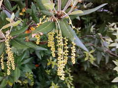 Quercus ilex L. 1753 (FAGACEAE) ♂ (helicongus) Tags: spain quercus quercusilex fagaceae jardínbotánicodeiturraran
