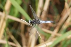 Scarce Chaser / Libellule Fauve (Dr Wood's Wildlife Photos) Tags: dragonfly scarcechaser bluechaser libellulafulva bruinekorenbout spitzenfleck libellulefauve sorjahukankorento spetsfläckadtrollslända