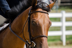 untitled-7.jpg (contemplative imaging) Tags: show county horse usa sport america illinois eyes nikon midwest day flat action outdoor head farm class ring il american chestnut jumper farms hunter dslr sporting rider stable equestrian equine mane winnebago bridle ledges 2015 perfecta d7000 contemplativeimaging ronzack 20150807