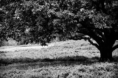 Shelter from the storm - absence of colour (BasWindfotografie) Tags: old light blackandwhite bw netherlands closeup composition contrast landscape golden zwartwit perspective natuur scene explore filter fibonacci fujifilm editing shelter f11 hilltop lonetree landschap metering ambiance hogeveluwe goldenmean sfeer bewerkt scène perspectief xe1 230mm centreweightedaverage absenceofcolour tobeexplored silverefexpro hoogcontrast fujifilmxe1 fujifilmxc50230mm