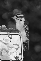 Wood Pecker (KathleenYvonne) Tags: family trees summer blackandwhite food white ontario canada black green love home nature beauty birds animals closeup fairytale forest canon landscape fun rebel squirrel babies cardinal wildlife models vivid posing august bluejay chipmunk chickadee whitby mothernature wildanimals 2015 birdfeeding durhamregion t4i discoverontario