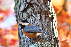 Varied tit (myu-myu) Tags: nature bird wildbird variedtit parusvarius autumncolors nikon d500   japan
