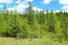 Larix laricina-06 (The Tree Library (TreeLib.ca)) Tags: tamarack larixlaricina