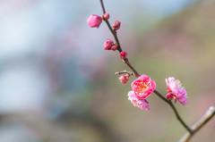 Happy New Year! (sevenbrane) Tags: japaneseapricot plumblossom ume