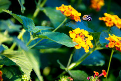 Flowers and a humblebee (Nikeee_) Tags: 2014 august bine blume blumen gelb hummel insekt italien italy natur sicily sizilien sommer sonne urlaub wespe beautiful bee bumblebee flower flowers green grün insect levitate nature schweben summer sun vacation wasp yellow