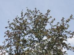 Alouchier (L'herbier en photos) Tags: rosaces rosaceae sobrarbe aragon espagne aragn espaa huesca pyrnes pirineo pirineos monte perdido ordesa montperdu malaceae sorbus aria alouchier common whitebeam mostajo comn revilla tellasin