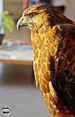 Hawk (Drako Douglas) Tags: hawk falco ave bird gaia gaya midgard nature natureza sol sun