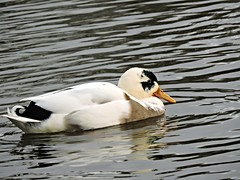Mallard (deannewildsmith) Tags: earthnaturelife mallard fradleynaturecentre duck