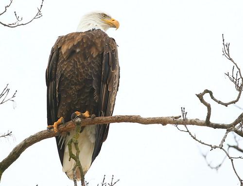 bald eagle at Decorah Fish Hatchery IA 854A1998