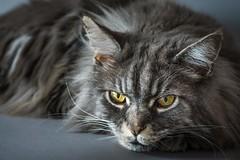 Wary (BigOllie Pictures) Tags: ifttt 500px animals cats feline fur portrait tomcat
