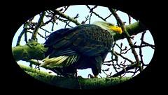 Adult Bald Eagle (Haliaeetus leucocephalus) (peggyhr) Tags: peggyhr adultbaldeagle dsc01819aa haliaeetusleucocephalus brown white yellow branches tree rainyweather winter langely bc canada carolinasfarmfriends level1pfr amazingnature musictomyeyes~l1 infinitexposurel1 favtop019faves thegalaxy super~sixbronze☆stage1☆ thegalaxyhalloffame thelooklevel1red thelooklevel2yellow