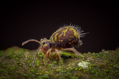 Dicyrtomina ornata (Kugelspringer) Collembola - Männchen (AchimOWL) Tags: macro makro natur nature animals tiere gx80 dmcgx80 panasonic lumix postfocusstack stacking insekt insect raynox springtail kugelspringer collembola outdoor schärfentiefe ngc macrodreams tier