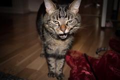 Yawning Cat (acgasser) Tags: sleepy tired cat kitten smoky katze kaetzchen müde gähnen yawning christmas weihnachten