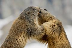 Happy Valentine's Day♥♥♥!!! (marypink) Tags: parconazionalegranparadiso ceresolereale valleorco piemonte marmotte marmot marmota mammalia rodentia marmotini sciuridae xerinae nikond7200 nikkor80400mmf4556