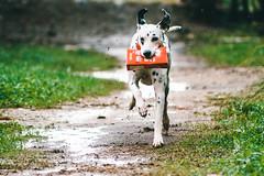 My brick! (Leo Hidalgo (@yompyz)) Tags: yompyz málaga dog animal perro dalmatian dálmata running corriendo