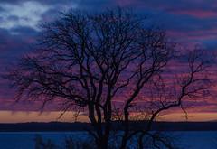 Same old tree with a new background ... :-) (frankmh) Tags: sunset tree sky öresund hittarp skåne sweden denmark outdoor