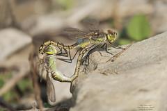 Anax ephippiger (Pipa Terrer) Tags: anaxephippiger campodecartagena odonata insecta dragonfly libélula anisoptera