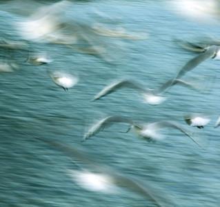 Gulls VI