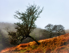 The Leaning Tree (Missy Jussy) Tags: trees tree lonetree piethornevalley rochdale lancashire ogden hillside mist fog landscape moodylandscape atmosphere silhouette canon canon5dmarkll 50mm canon50mm