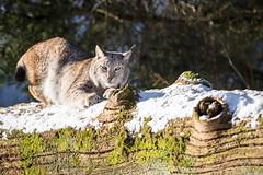 Eurasian Lynx (The Wasp Factory) Tags: eurasianlynx lynx eurasischerluchs nordluchs luchs lynxlynx tierparksababurg tierpark sababurg wildpark wildlifepark