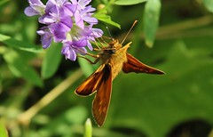 Butterfly (Hugo von Schreck) Tags: hugovonschreck butterfly schmetterling falter macro makro insect insekt grün green outdoor canoneos5dsr tamron28300mmf3563divcpzda010 givemefive