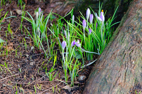 Purple crocusses
