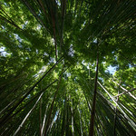 Bamboo forrest thumbnail