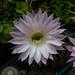 Fiore di cactus-1040909