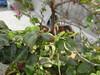Murraya paniculata_Vile Parle3 (Alka Khare) Tags: murraya rutaceae