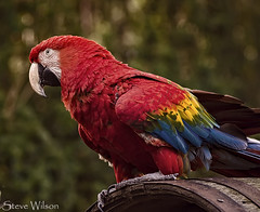 uk greatbritain blue red brazil mountain color colour bird peru nature beautiful animal yellow wales america scarlet mexico zoo bay big amazon nikon rainforest colorful britain wildlife south great north large conservation parrot bolivia trinidad tropical welsh colourful captive macaw biggest largest captivity scarletmacaw colwynbay welshmountainzoo colwyn d7000 nikond7000