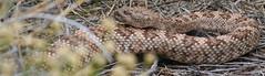 Beauty (A Wild Western Heart) Tags: pattern desert snake mojave rattlesnake speckled herps speckledrattlesnake