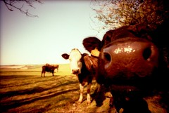Curious Cows (Myahcat) Tags: film animal 35mm cow xpro lomography crossprocessed fuji bullock velvia extremecloseup southdowns nosy fujivelvia lcwide
