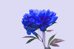 Blue Peony with Bud 610 (Tjerger) Tags: blue white plant flower macro green nature leaves closeup wisconsin petals spring flora purple peony stems bloom bud