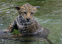 All Wet (Penny Hyde) Tags: cub bigcat jaguar sandiegozoo babyanimal